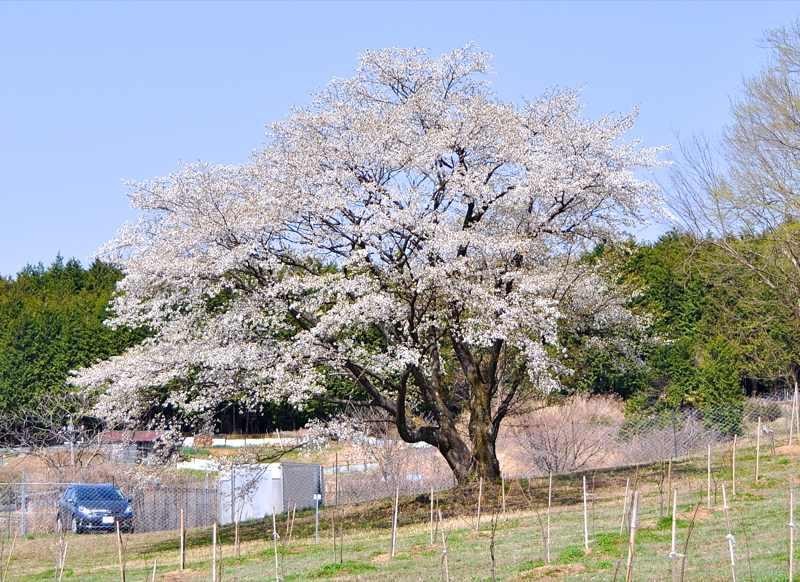 威風堂々、孤高の桜。中津川マロンパーク