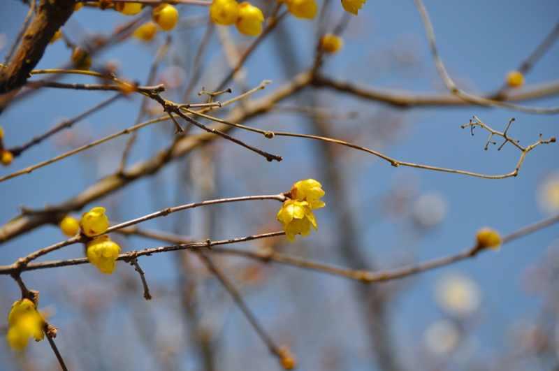 春を探しに長多喜へ 蠟梅と白梅
