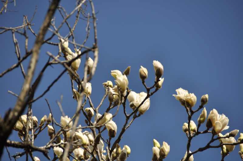 春を探しに長多喜へ モクレン