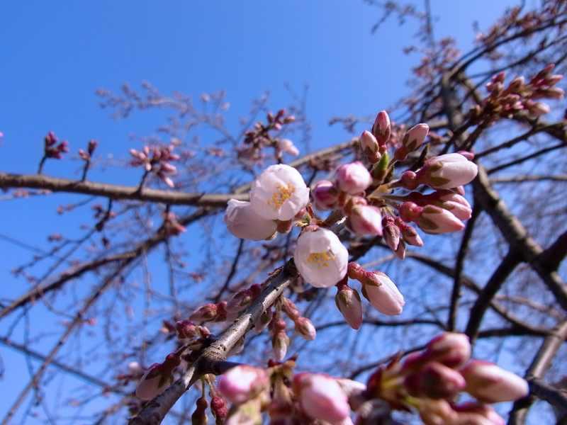 桜が咲き始めた、桃山大岩薬師。