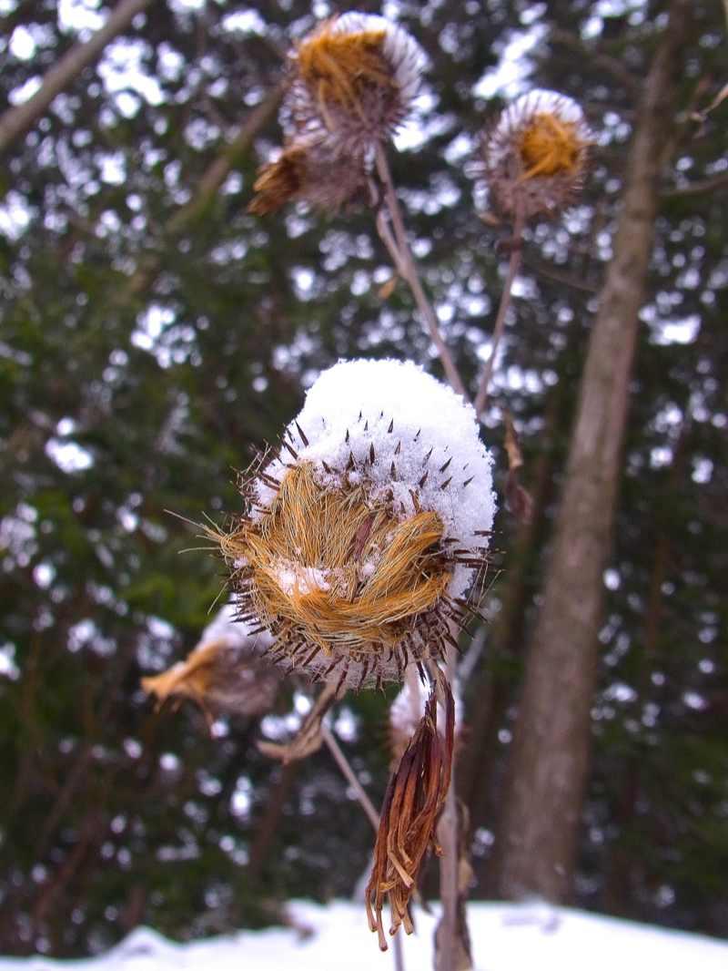草花メッセージ  雪帽子のオヤマボクチ
