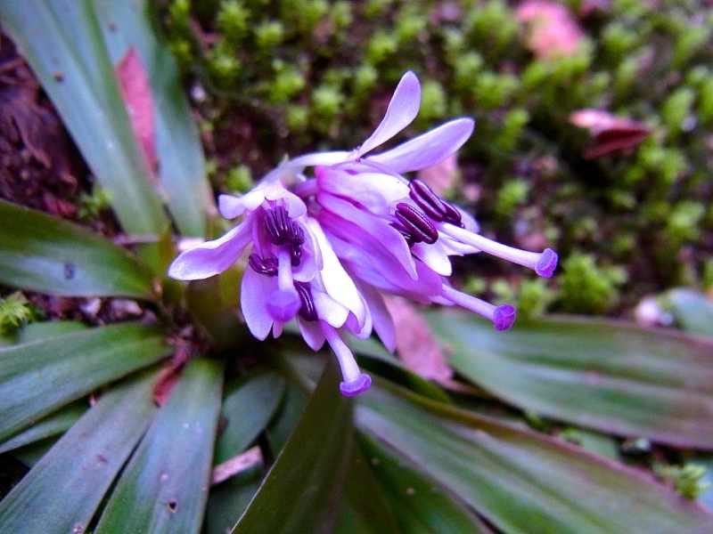 春を探しに長多喜へ ショウジョウバカマが咲き出した。