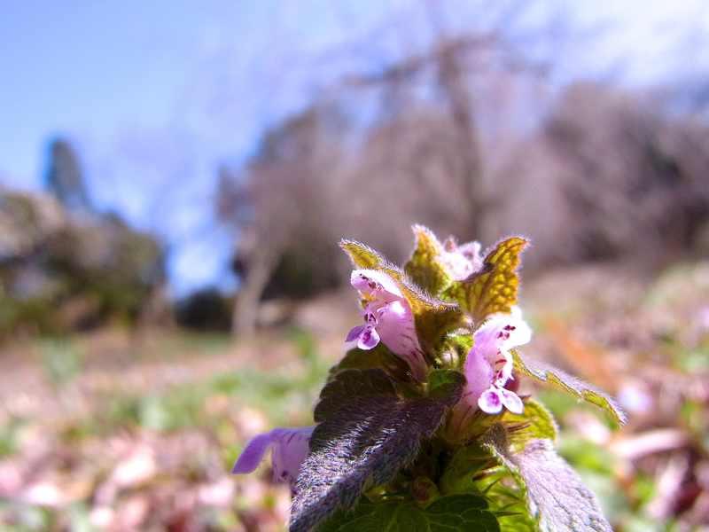 春を探しに長多喜へ ヒメオドリコソウ