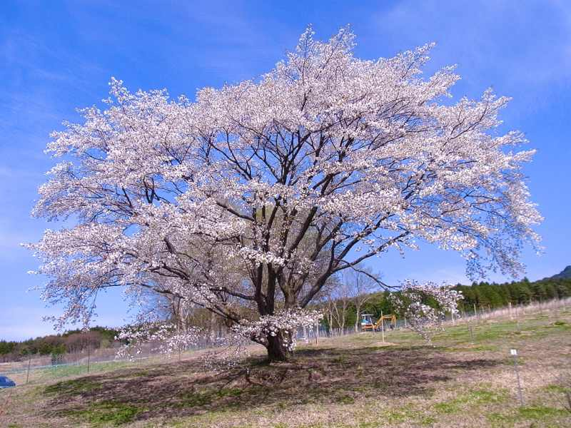 孤高の桜、満開。