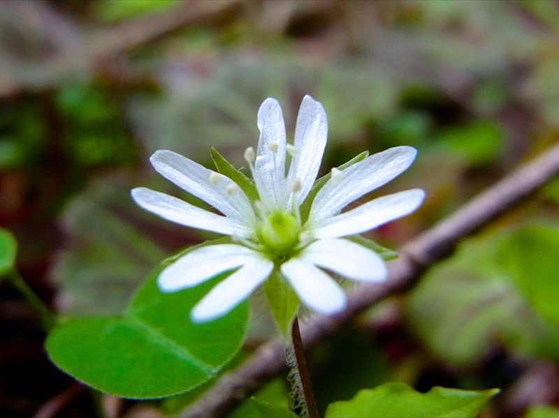 恵那山麓は初夏の草花が咲き始めた。ミヤマハコベ border=