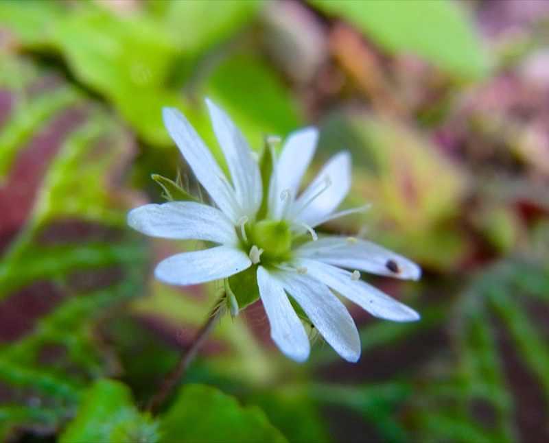 恵那山麓は初夏の草花が咲き始めた。ミヤマハコベ