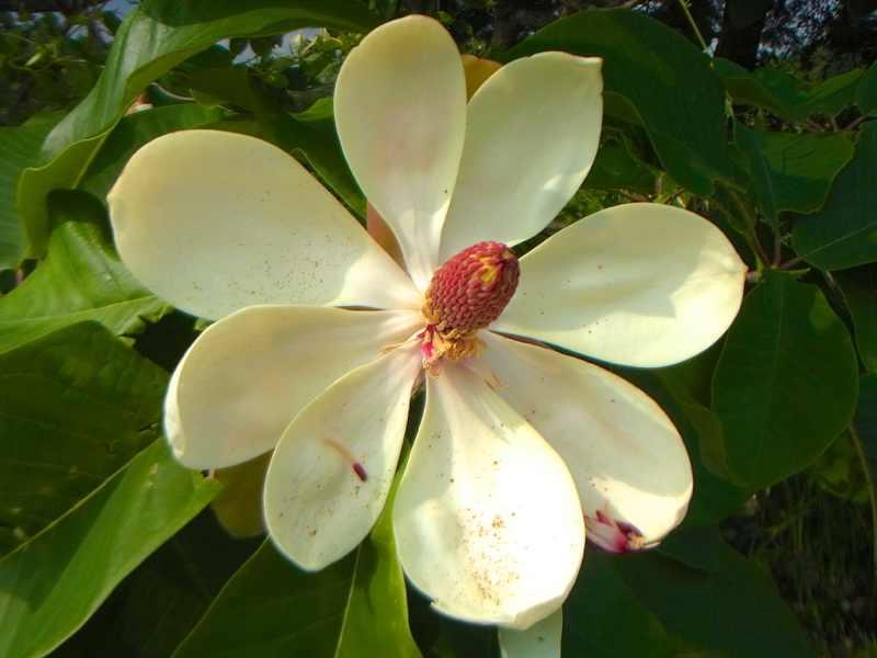 草花メッセージ  朴の花が咲き出した。