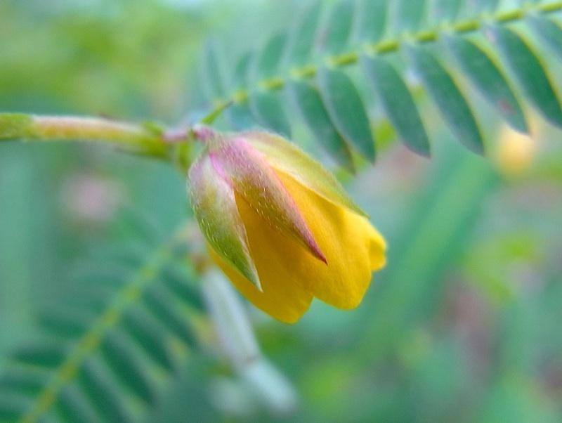 カワラケツメイの花が咲いています。馬籠荒町の堤 border=