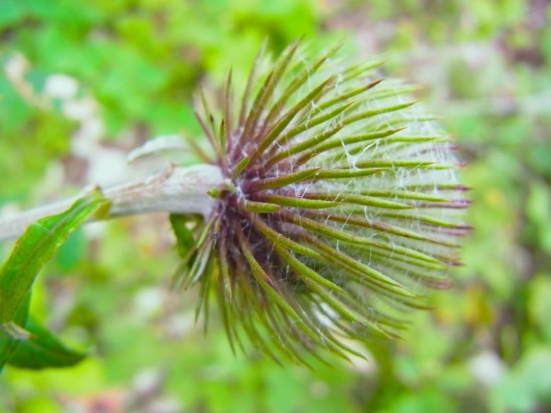 草花メッセージ  今年もオヤマボクチの季節。
