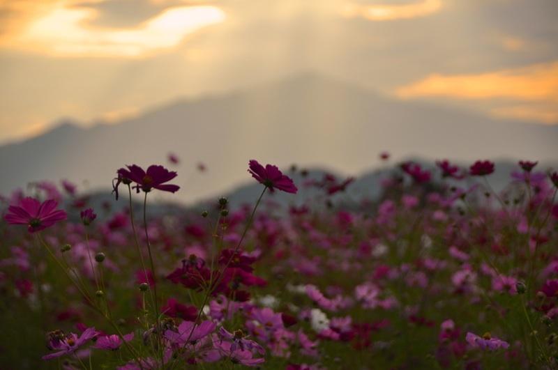 草花メッセージ  夕暮れのコスモス畑