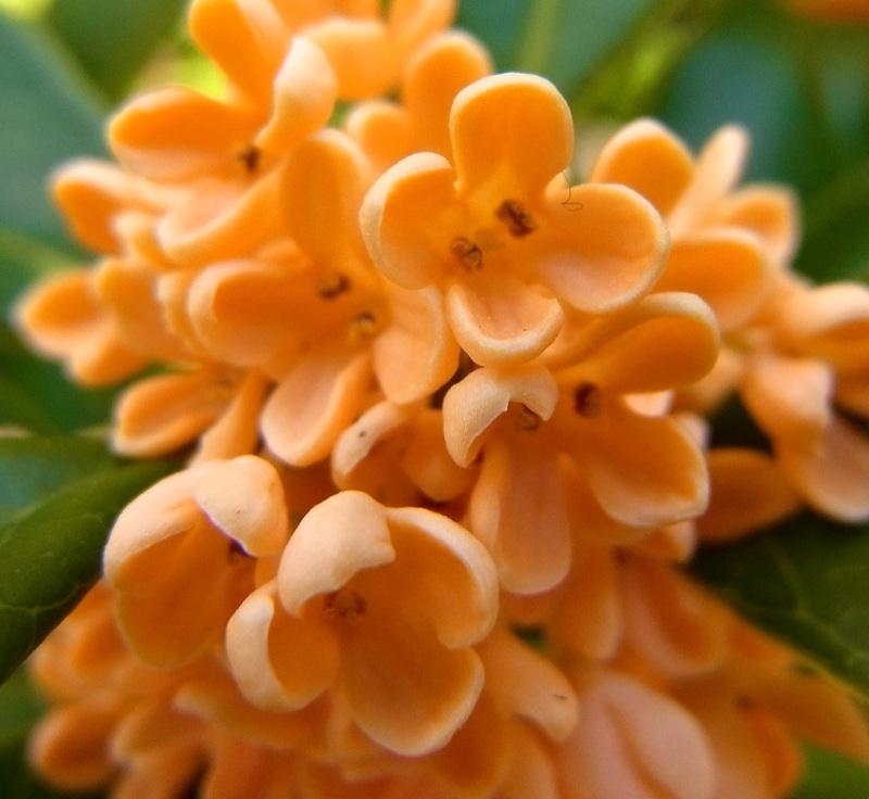馥郁たる香りに包まれて 金木犀満開