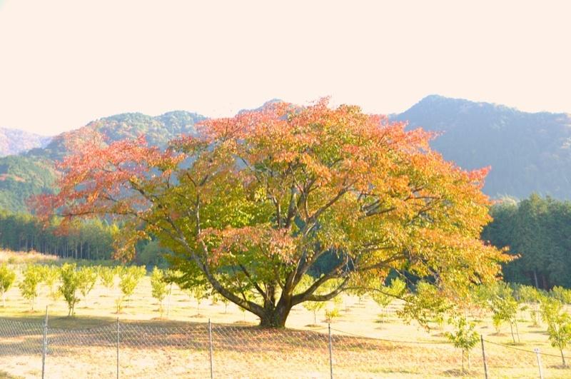 東西南北、威風堂々、一本桜の紅葉