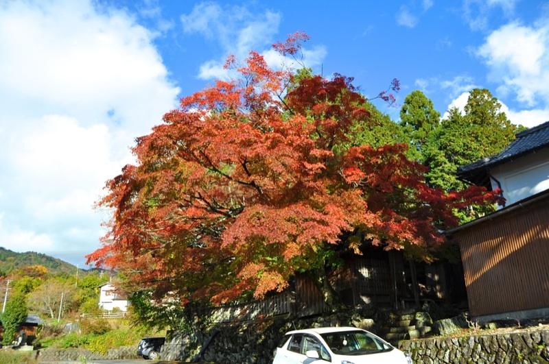 この冷え込みでグッグッと鮮やか紅葉色、馬籠永昌寺の大モミジ