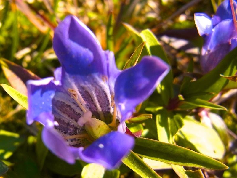 草花メッセージ  晩秋の高原を彩る「オヤマリンドウ」