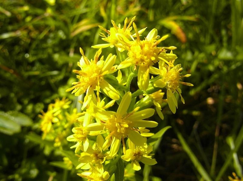 草花メッセージ 秋の黄金花の代表!アキノキリンソウ。