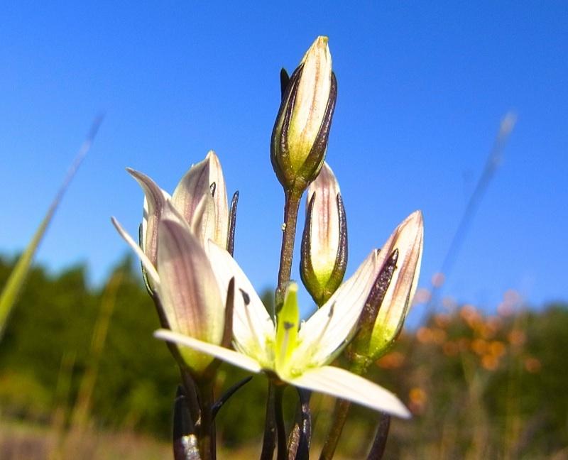 これが「ニガイ!」の王様、センブリの可愛い花満開です。