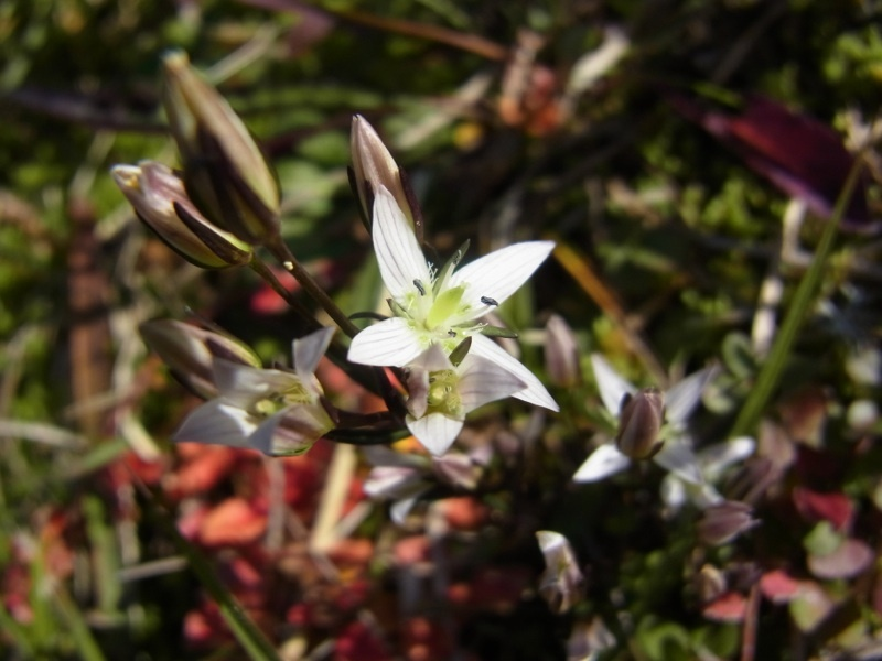 これが「ニガイ!」の王様、センブリの可愛い花満開です。 border=