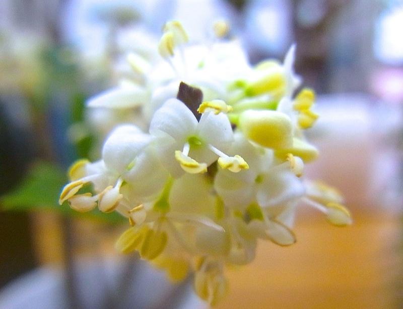 魔除けのヒイラギ(柊)満開、芳香漂う。