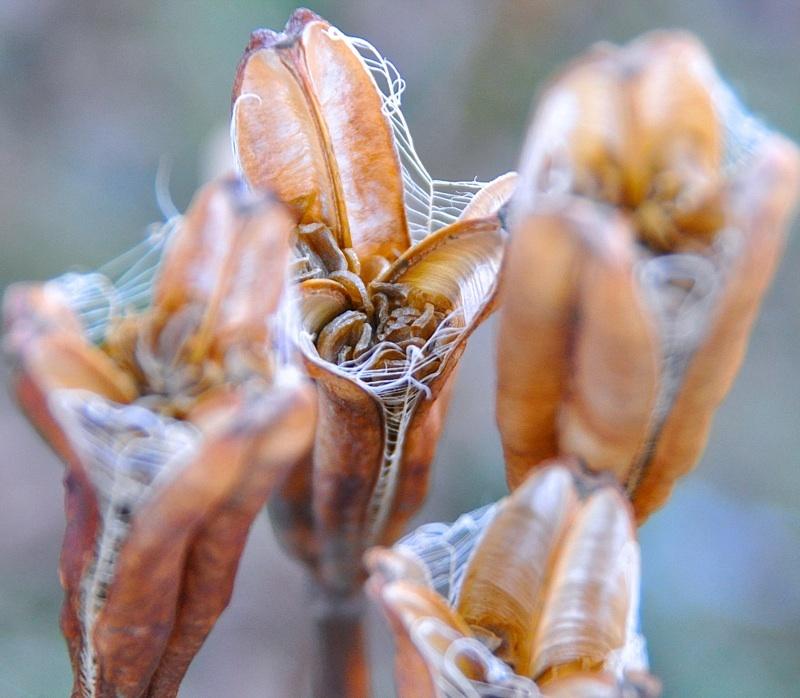 タカサゴユリの種まき。