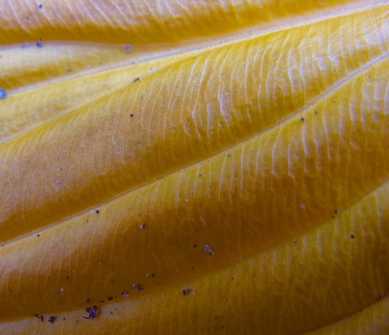 黄葉 12月のオオバギボウシ(大葉擬宝珠)