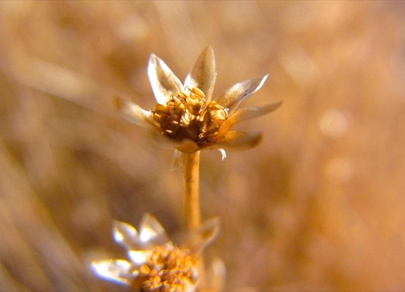 星草の干し草