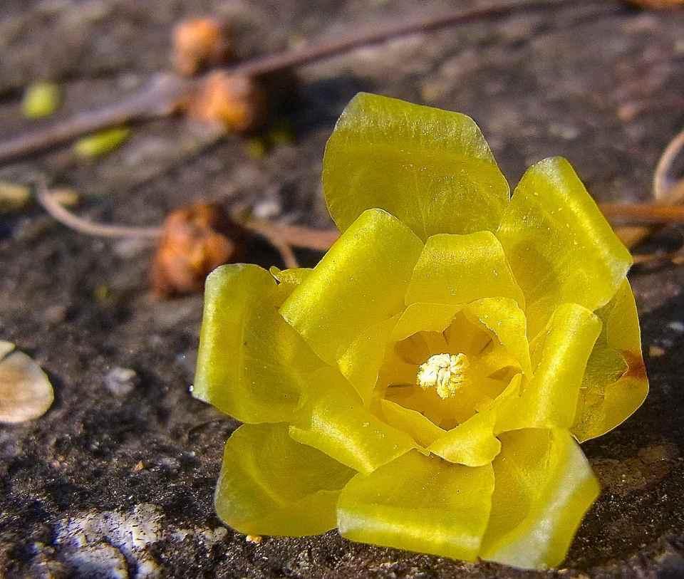 冬の花「ロウバイ」が満開