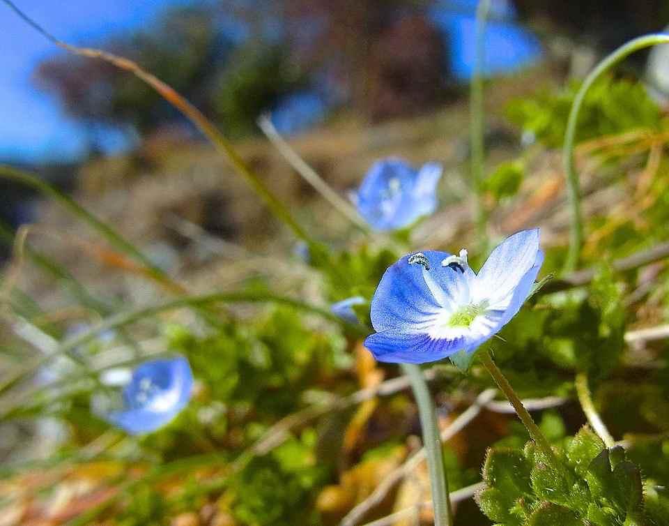 春一番、咲きました「オオイヌノフグリ」 border=