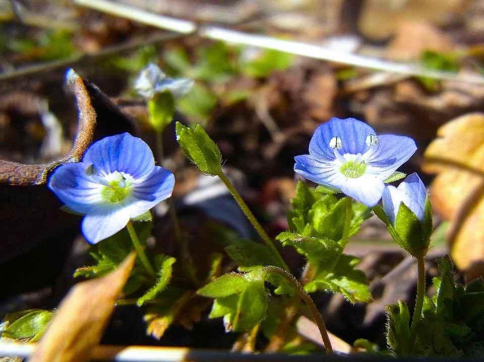 春一番、咲きました「オオイヌノフグリ」