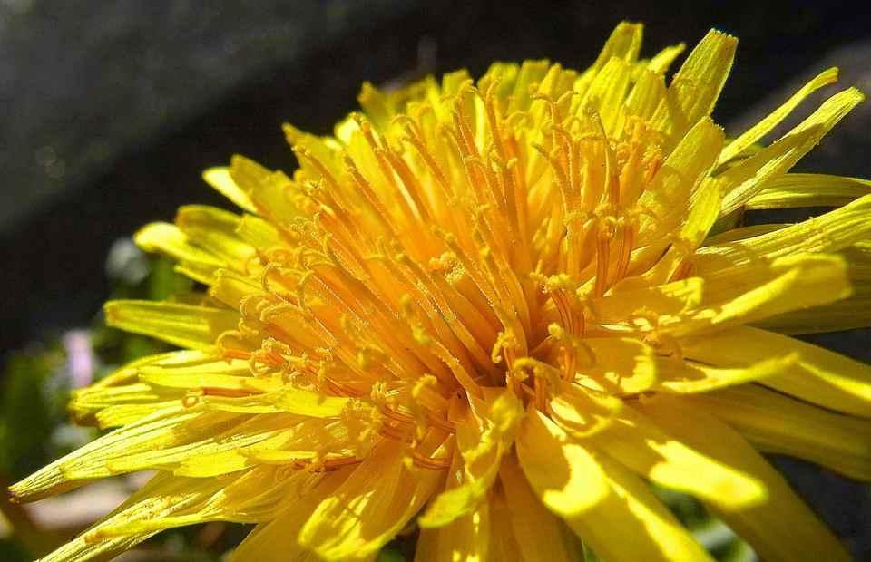 春を探しに野に出よう、タンポポが咲いた。