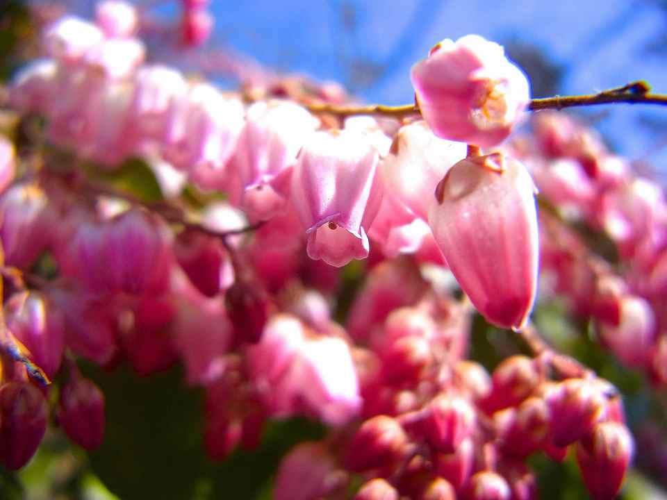 「春を探そう野に出よう」 紅い馬酔木