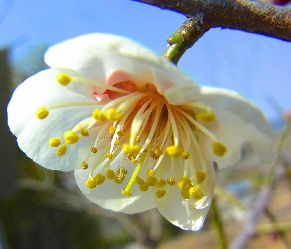 春を探しに野に出よう  梅が咲き出した