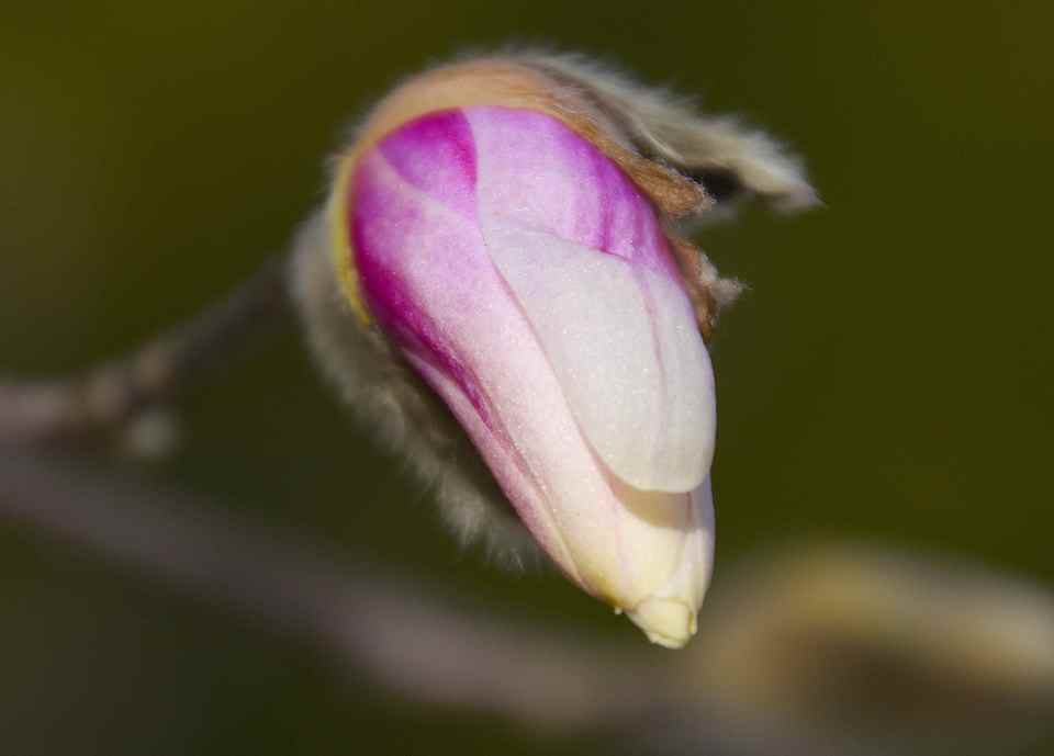 シデコブシが咲きだした。 border=