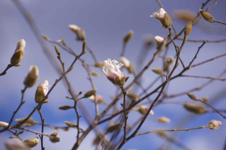 シデコブシが咲きだした。