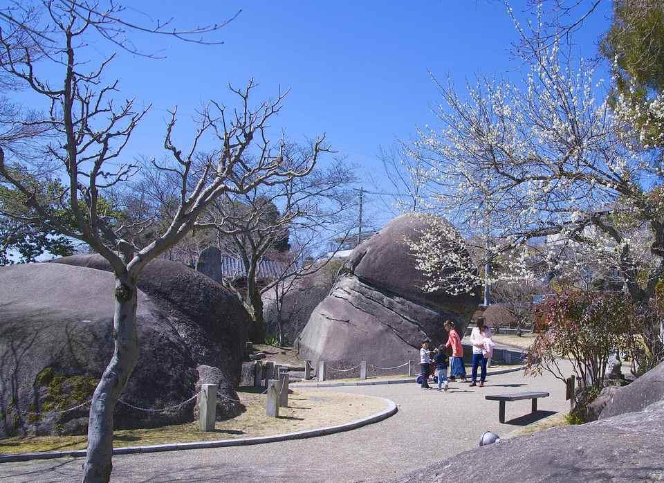 桃山公園 女夫岩前の「女夫梅」が満開近し