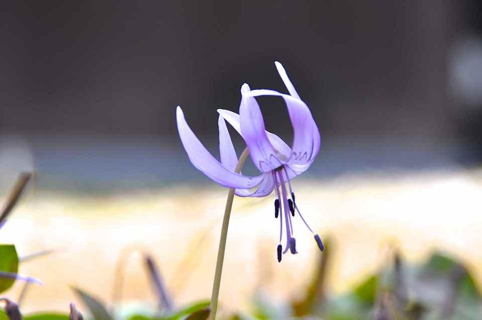 長多喜の春 カタクリ「春の妖精」(スプリング・エフェメラル)