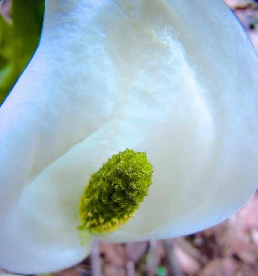 付知峡不動滝のミズバショウ咲き出した。