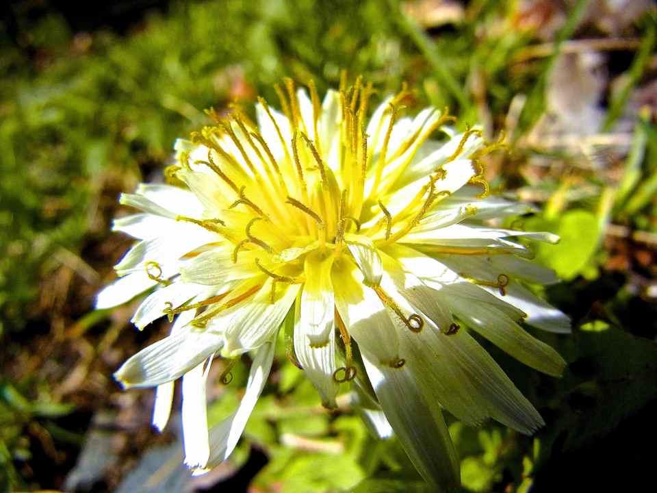 今年も咲いた シロバナタンポポ