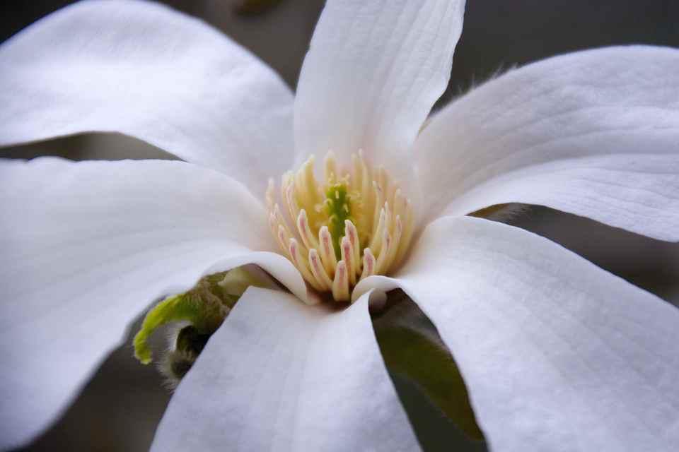 コブシの花 (別名、田打ち桜、種蒔き桜。)