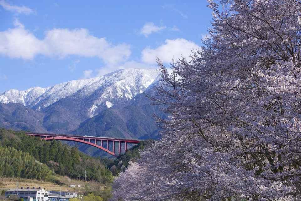 中津川市落合の恵那桜