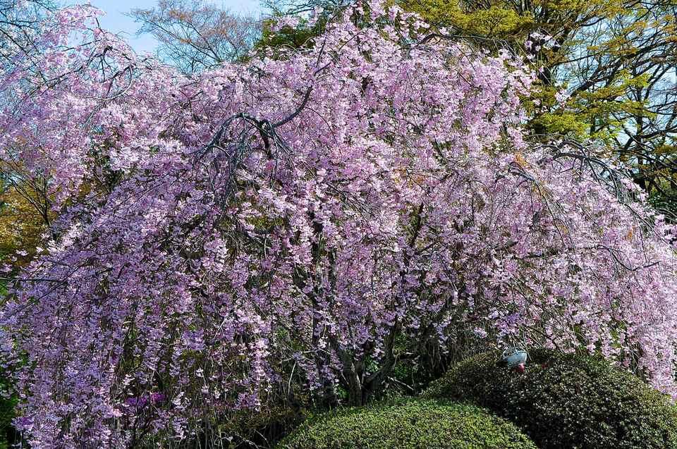 長多喜の枝垂れ桜はお散歩コース