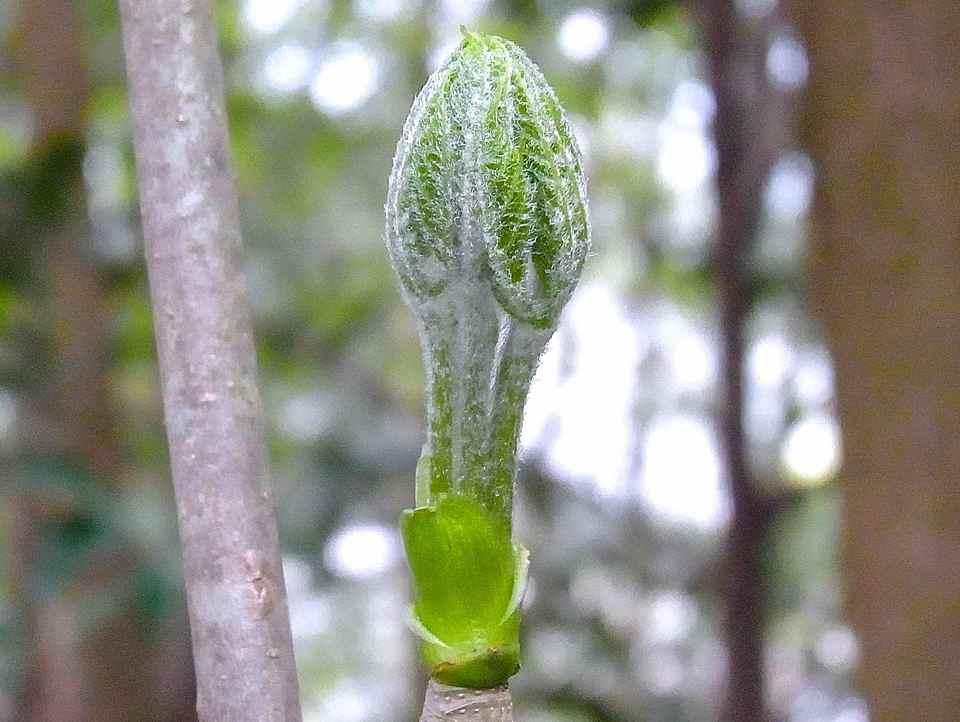 コシアブラ、コンテツ、カタナノ木