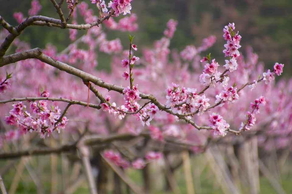 中津川市落合桃園満開、桃色の桃源郷、