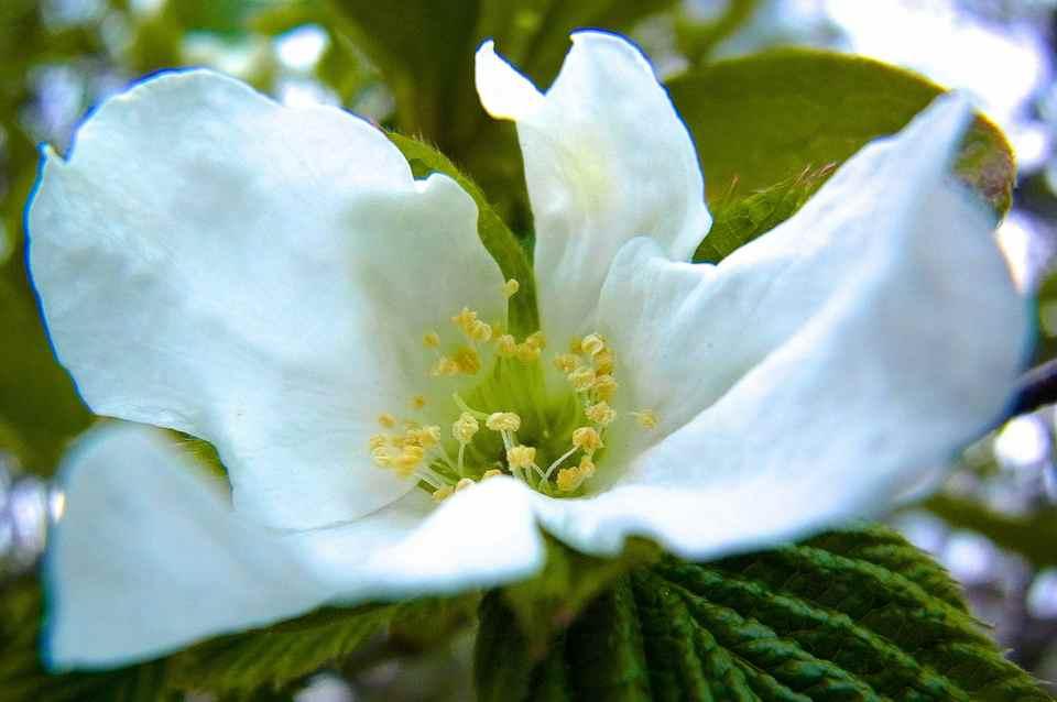 シロヤマブキが咲き始めた。