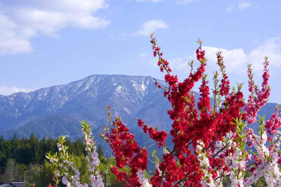 春爛漫、青空と雲と恵那山と満開の花桃。