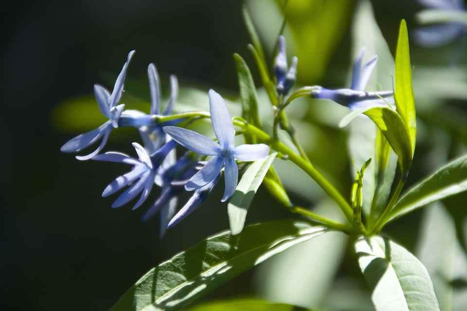 草花メッセージ  チョウジソウ (丁子草) が咲き始めた。