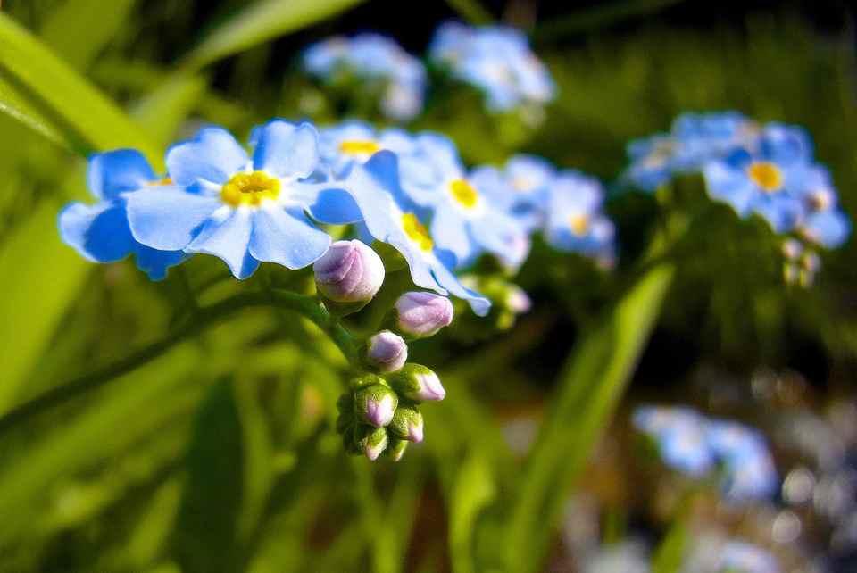 草花メッセージ  四ツ目川の「ワスレナグサ」