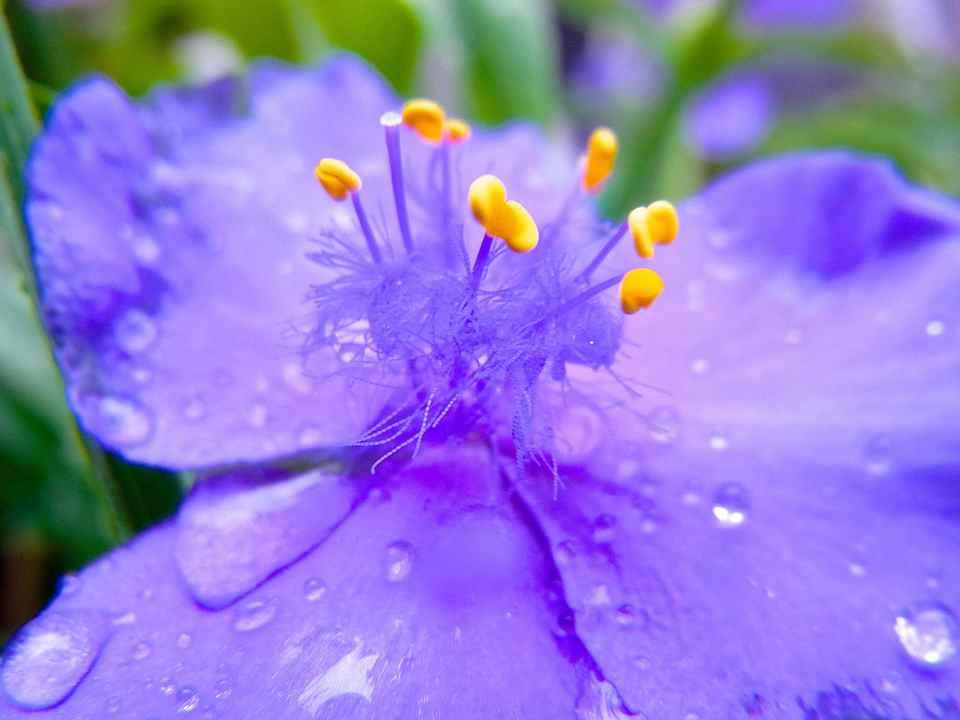雨のムラサキツユクサ