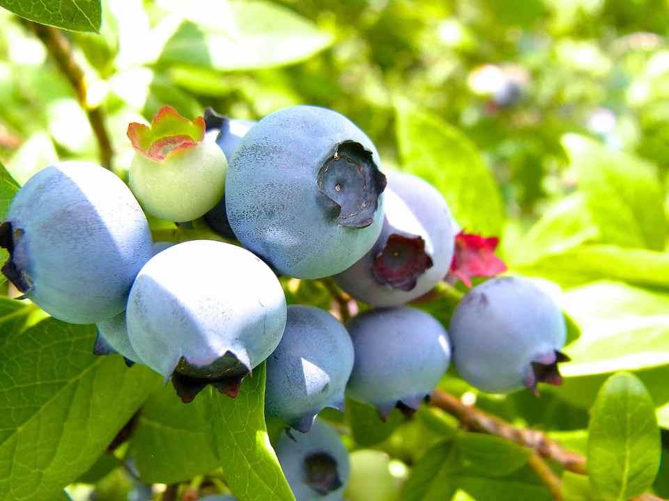 今年もブルーベリー採り始まる。