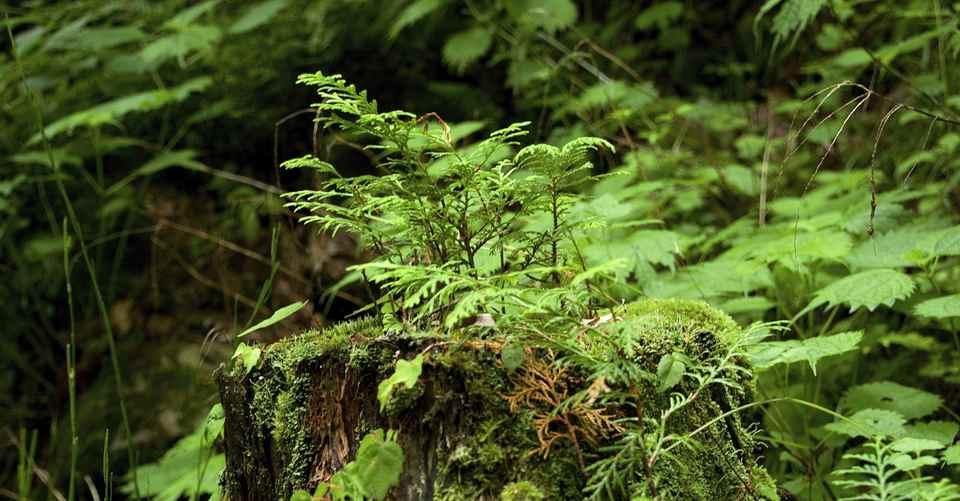 ひのきの蘖(ひこばえ)、百年単位の森の営み
