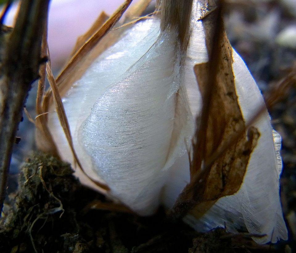 シモバシラの霜柱